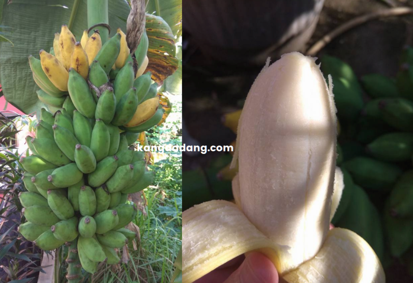 pisang obat